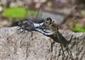 Dragonflies.....