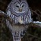 Barred Owl on a cold winter day