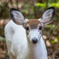 Piebald fawn - all ears