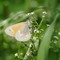 ainsect butterfly 0670 common ringlet  essex  2020