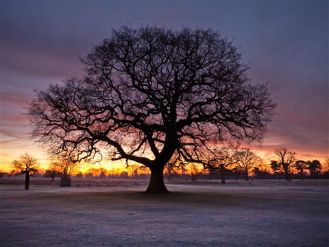 Bushy Park tree