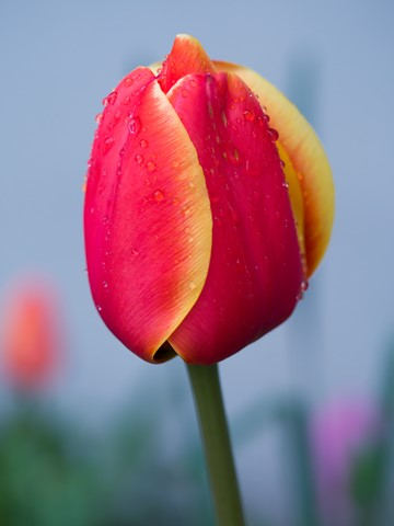 morning-tulip-in-vancouver-no-07