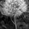 DandyLion Seeded
