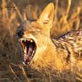 Yawning Jackal