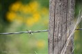 barb wire post yellow flowers
