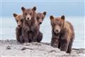 Brown bear cubs, Kuril lake, Kamchatka