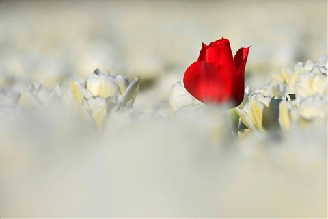 Red tulip among white
