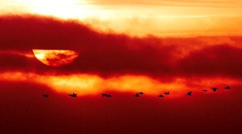 Gæs i solnedgang-2831-Edit-2-Edit-Edit