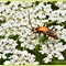 Beetle on Queen Anne's Lace