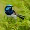 Superb Fairy-wren (Male):