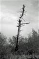 B&W dead tree