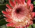 Protea Softness