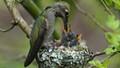 Hummingbird feeding her young.