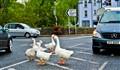 Goose Traffic control