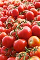 Green vine tomatoes