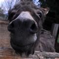 Donkey Benjamin