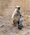 Langur Monkey Mother's Love