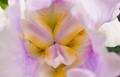 Hiding deep inside an iris flower...