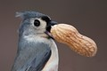 Tufted Titmouse with peanut.