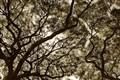Waimea Trees