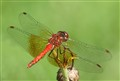 Red Tail Dragonfly