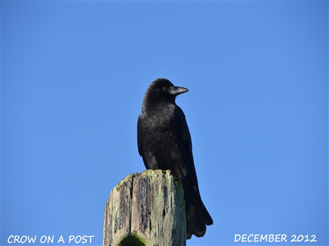 Crow on a Post