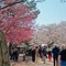 Matsuyam Castle cherry blossoms R1001018