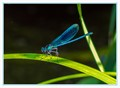 Beautifull Demoiselle, Male