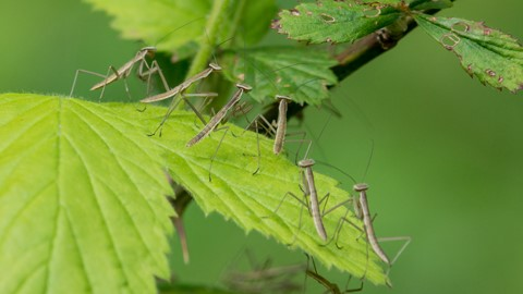 Mantis hatchlings on Blackberry leaf