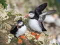 Puffins at Bempton Cliffs RSPB in Yorkshire UK.