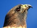 Hawk @ 2000mm
