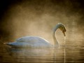 Swan in the morning mist, Teich natural park.