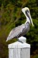 Pelican  Pier Post