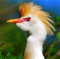 Cattle Egret Portrait