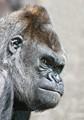 Gorilla with attitiude