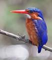 Malachite Kingfisher, Uganda