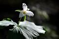 May White Trillium