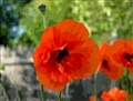 Posterized Poppies