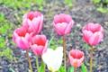 the tulip flower