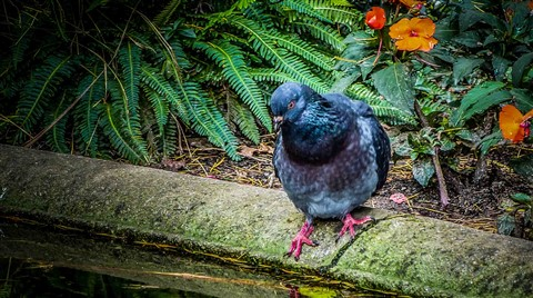 colourful pigeon-1
