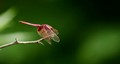 red gragonfly
