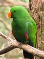Eclectus Parrot, Northern Australia