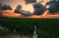 Rice Fields at Valencia