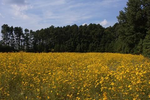A-Canon FD24mm2.8 @ 22 - Tickweed Sunflower Field Original 1033