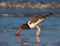 American Oystercatcher with Sun, Sea and Sand