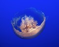 Translucent Jellyfish