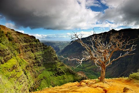 Dead Tree at Waimea Canyon