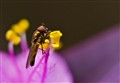 Young Hoverfly