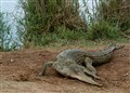 kenya-Croc