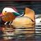 Mandarin Duck-43-Edit
